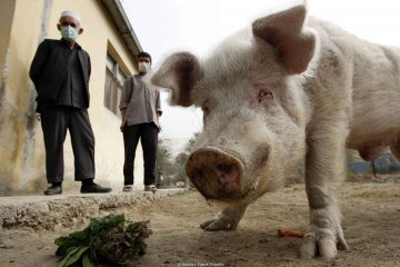 Two Afghan zookeepers watch as Afghanistan's only known pig, Khanzir, eats at the Kabul Zoo November 2, 2009. The Afghan government ordered closure of all educational institutions for a period of three weeks due to the dramatic rise of H1N1 flu cases and after its first death from the virus last week. The pig, a curiosity in Muslim Afghanistan where pork and pig products are illegal because they are considered irreligious, was quarantined in July 2009 because visitors to the zoo were worried it could spread the H1N1 flu strain. The pig was released out of quarantine on July 4.    REUTERS/Oleg Popov    (AFGHANISTAN ANIMALS HEALTH SOCIETY IMAGES OF THE DAY)