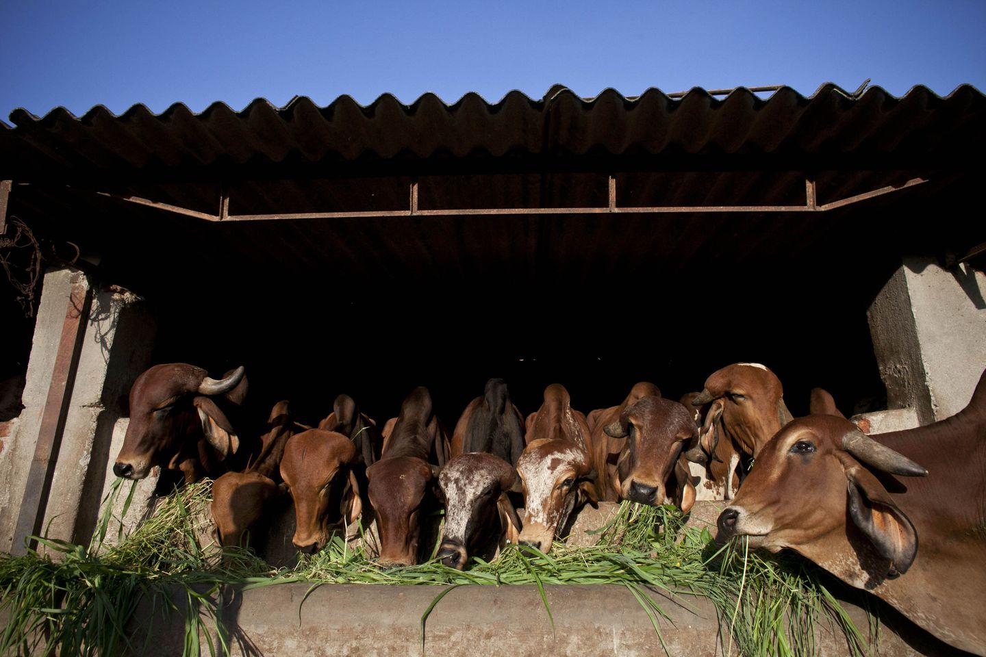 cow-retirement-home-